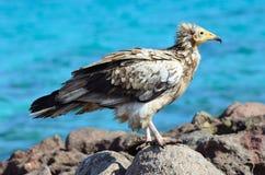 埃及雕(兀鹫Percnopterus)坐在索科特拉岛海岛上的岩石在狂放的 库存图片