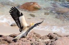 埃及雕(兀鹫Percnopterus)坐在索科特拉岛海岛上的岩石  免版税库存图片