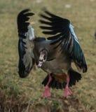 埃及飞行鹅 图库摄影