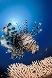 埃及鱼狮子红色礁石海运 免版税库存图片