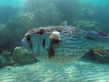 埃及鱼红海水下的塔巴 免版税库存图片