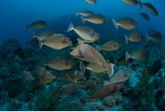 埃及鱼红色教育的海运独角兽 免版税库存照片