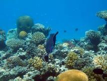 埃及鱼虚度红海塔巴水中 库存照片