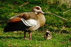埃及鹅和幼鹅 库存照片