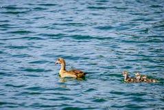 埃及鹅游泳用幼鹅 免版税库存照片