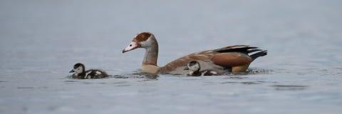 埃及鹅用在湖的两只幼鹅 免版税库存照片