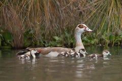 埃及鹅用在湖的四只幼鹅 库存照片