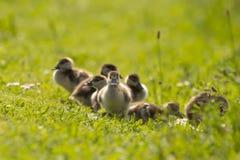 从埃及鹅的小鸡 图库摄影