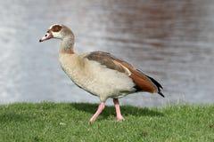 埃及鹅, Alopochen aegyptiac 库存图片