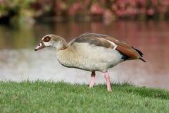 埃及鹅, Alopochen aegyptiac 免版税库存照片