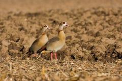 埃及鹅 免版税库存图片