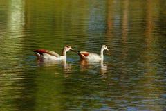 埃及鹅 免版税库存照片