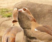 埃及鹅 免版税图库摄影