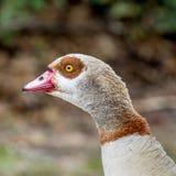 埃及鹅3 库存图片