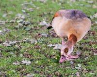 埃及鹅(Alopochen aegyptiaca)吃草 免版税库存照片