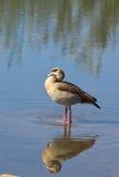 埃及鹅(Alopochen aegyptiaca) 库存照片