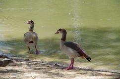 埃及鹅(Alopochen aegyptiacus) 免版税库存图片
