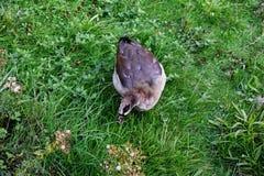 埃及鹅Alopochen aegyptiaca 免版税图库摄影