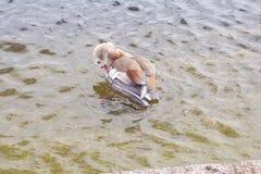 埃及鹅Alopochen aegyptiaca 免版税库存照片