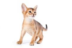 埃塞俄比亚小猫 免版税图库摄影