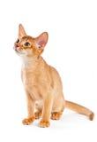 埃塞俄比亚小猫 图库摄影