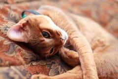 埃塞俄比亚棕色猫小猫光年轻人 免版税库存照片