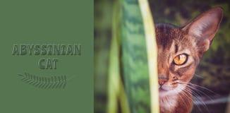 埃塞俄比亚猫关闭,在绿叶的自然条件,象掠食性动物,看照相机, 免版税库存照片