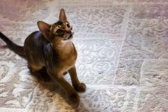 埃塞俄比亚猫坐地毯,休息 免版税图库摄影