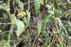 埃塞俄比亚猫声鸟 库存照片