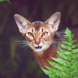 埃塞俄比亚猫积极,象掠食性动物,在自然情况的照片 库存图片