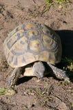 埃尔曼的草龟 库存照片