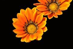 费埃特文图拉岛杂色菊属植物花  免版税图库摄影