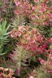 埃特纳火山火山,桃红色开花大戟属rigida,地鼠spurge,挺直加州桂spurge花植物群  免版税图库摄影