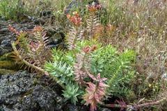 埃特纳火山火山,桃红色开花大戟属rigida,地鼠spurge,挺直加州桂spurge花植物群  库存图片