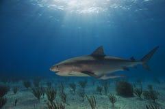 埃玛鲨鱼老虎 免版税库存照片