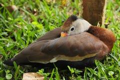埃玛,一只黑鼓起的whistiling的鸭子,在Toucan抢救大农场,一个哥斯达黎加的野生生物救援机构放松在哥斯达黎加 库存照片