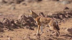 埃赛俄比亚的狼 库存照片