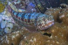 埋伏以待在珊瑚的歧须鱼危软鳍鱼 免版税图库摄影