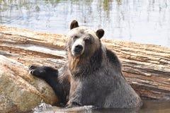 埋怨山北美灰熊画象,温哥华,不列颠哥伦比亚省,加拿大 免版税库存图片