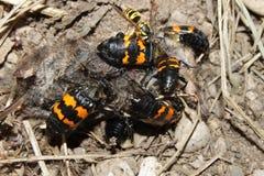 埋没的甲虫伊利诺伊野生生物 免版税库存照片