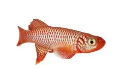 城崎锵鱼Nothobranchius flammicomantis Killi水族馆鱼 免版税库存照片