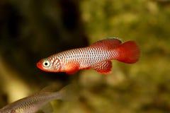 城崎锵鱼Nothobranchius flammicomantis Killi水族馆鱼 免版税库存图片