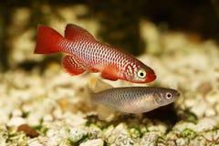 城崎Killi锵鱼男性和母Nothobranchius flammicomantis Killi水族馆鱼 免版税库存照片