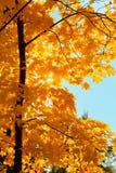 城市日槭树公园星期日结构树 免版税库存照片