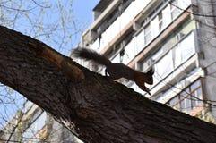 城市灰鼠 库存照片