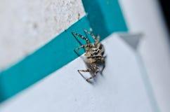 城市跳的蜘蛛 免版税库存照片