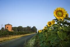 域下个路向日葵 免版税图库摄影