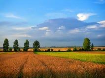 域以色列麦子 库存照片