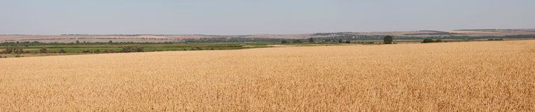 域全景麦子 免版税库存照片