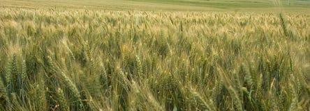 域全景麦子 库存图片